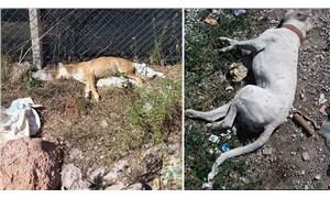Ankara'da 3 köpek zehirlenerek öldürüldü