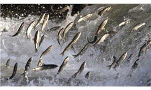 Bölgesel ısınma Karadeniz'de balık türünü tehdit ediyor
