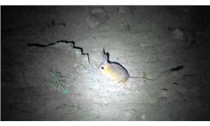 Nesli tükenmekte olan 'Arap tavşanı' Sivas'ta görüntülendi