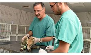 Mersin'de silahla vurulan tilki tedavi edildi