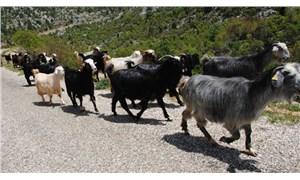 Muğla'da kırsal kalkınma için Kıl Keçisi Projesi