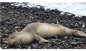 Akdeniz foklarının evleri yok oluyor