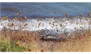 Yaşam alanı tahrip edilen Akdeniz foku kıyıya vurarak öldü