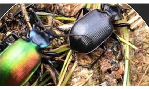 Dev kabuk böceğinin istila ettiği ladin ormanlarına 'terminatör böcek'