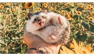 'Dünyanın en mutlu kirpisi' Instagram fenomeni oldu
