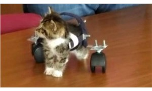 Felçli kedi öğrencilerin sevgisiyle yürümeye başladı