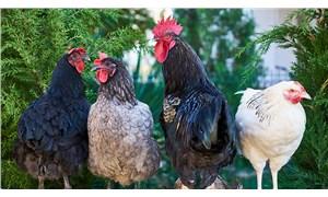 Uzmanlar: Tavuklarınızı öpmeyin