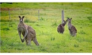 Avustralya'da 20 kanguruyu öldüren zanlı işkenceden yargılanacak