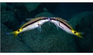 Göçmen balıkların 'kavga' anını görüntüledi