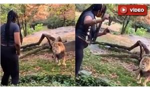 New York polisi, aslanların olduğu bölgeye girip dans eden kadını arıyor
