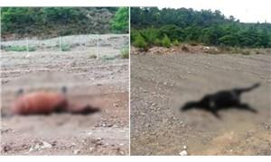 Marmaris'te hayvan katliamı: 4 at silahla vurulmuş halde bulundu!