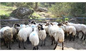 Çine çaparı koyununun yok olmasının önüne geçildi