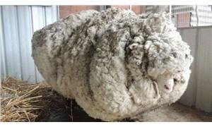 Dünya'nın en yünlü koyunu 'kaçak Chris' öldü