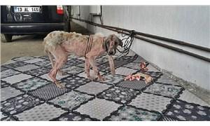 Belediye işçilerinin işkence yaptığı köpek bulundu