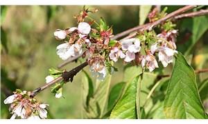 Manisa'da iklim krizinin etkileri: Kışa girerken ağaçlar çiçek açtı