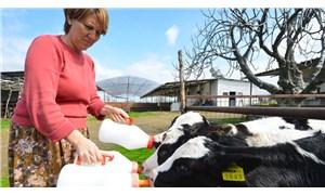Yem fiyatı uçuyor, süt para etmiyor, borç gırtlakta: İnekler kesimhanede