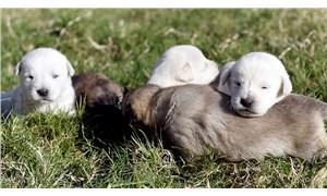 5 yavru köpek ağzı bağlı çuvalda bulundu