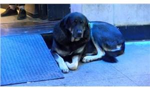 Taksim'deki köpek iğneyle uyutularak barınağa götürüldü