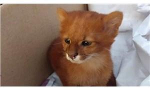 Eve getirdiği 'kedi yavruları' puma çıktı