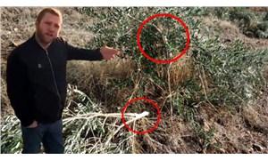Manisa'da 500 zeytin ağacı kesildi