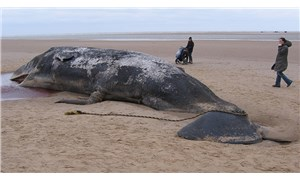 Karaya vuran balinanın midesinden 100 kilo çöp çıktı