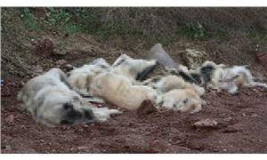 Osmaniye'de bir arazide çok sayıda köpek ölü halde bulundu