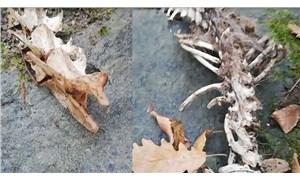 Trabzon'da 1,5 metre uzunluğunda 2 ayaklı hayvan iskeleti bulundu