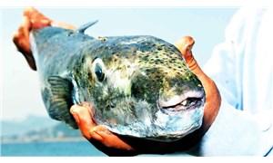Balon balığı sayısını azaltmak için prim sistemi: 1 kilo balon balığı getirene 5 TL ödenebilir