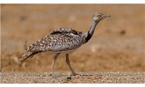 Pakistan'dan hubara kuşlarını öldürmesi için Bahreyn Kralına izin