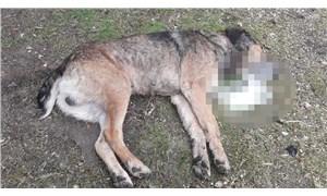 Köpekleri zehirleyip, döverek öldürdükten sonra koyun ve hindileri çaldılar