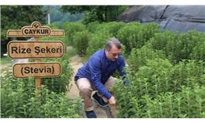 ÇAYKUR'un 16 milyonluk 'stevia' macerası başlamadan bitti