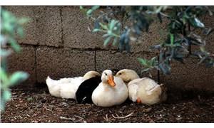 Macaristan'da kuş gribi gerekçesiyle 115 bin ördek öldürüldü