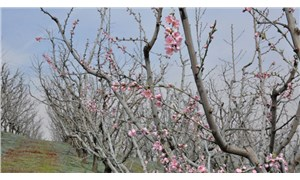 Şeftali ağaçlarının çiçek açması çiftçiyi ürküttü