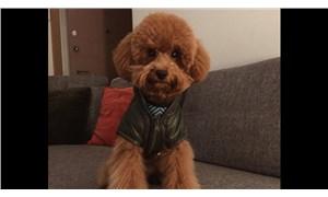 Hukuk savaşına hazırlanan sevimli köpek