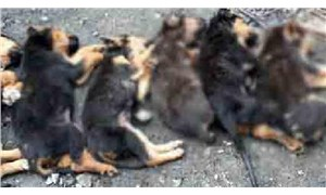 Zonguldak'ta 7 yavru köpek zehirlenerek öldürüldü!
