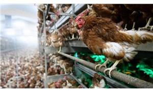 Çekya'da kuş gribi nedeniyle 130 bin tavuk öldürülecek