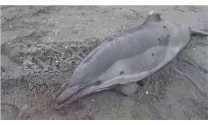 Sakarya'da 3 yunus kurşunlanmış ve kuyrukları kesilmiş halde bulundu