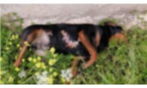 Antalya'da 3 köpeği zehirleyerek öldürdüler