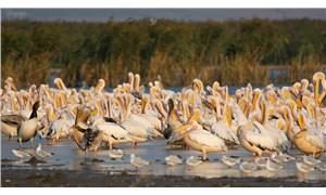 Afrika'dan göçen ak pelikanlar Manyas'ta molada