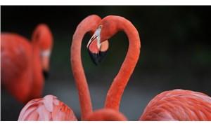 Flamingoların yakın ve uzun süreli dostluklar kurdukları ortaya çıktı