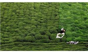 Yaklaşan çay hasadı için 2 formül