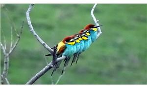 Kars'ta ağaç dallarında tek sıra yapan arı kuşları