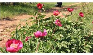 Türkiye'de 6 çeşidi bulunan çiçeği koparmanın cezası 60 bin TL