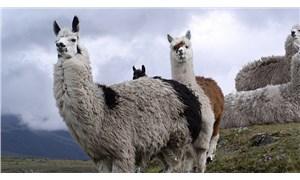 Lamalar koronavirüse karşı 'gizli kahramanımız' olabilir