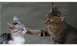 'Kediler koronavirüsü birbirlerine geçiriyor ancak muhtemelen hastalanmıyorlar'