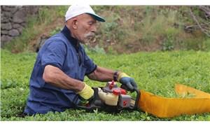 Benzinli çay toplama motorları yasaklandı