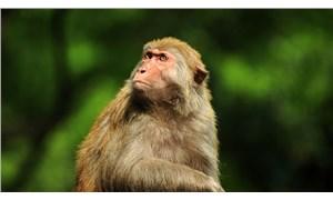 Hindistan'da maymunlar, koronavirüs hastalarından alınan kan örneklerini çaldı