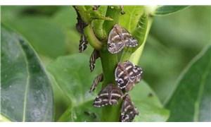 """Doğu Karadeniz'de """"vampir kelebek"""" tehlikesi: Ekilen sebzeler yenilemiyor"""
