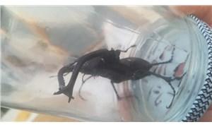 Osmaniye'de geyik böceği görüldü