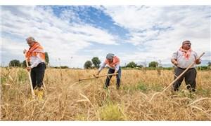 Karakılçık buğdayında şimdi hasat zamanı
